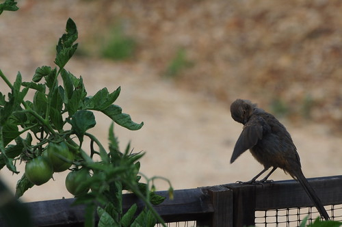 Trust this little birdie. Home-grown tomatoes are the best. Wait until they are ripe, though.