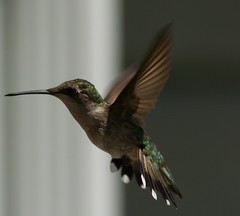 humming bird (JAMES HALLROBINSON) Tags: summer flying hummingbird