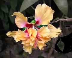 pretty lass (joelv_ph) Tags: flowers nature hibiscus hibiscuswonder