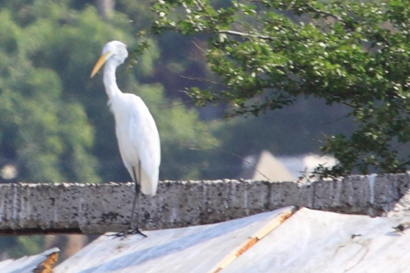 082409_greatEgret