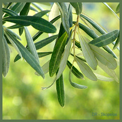 today I was watching an olive tree... (Skopelos ) Tags: light plants naturaleza plant tree green nature garden square greek natural bokeh squares natureza natur olive natura explore greece squareformat  squarecrop olivier plantlife skopelos olivetree olivo oliveira olivenbaum    olijfboom  aard explored     cafeelite  diolivo skopelosnet