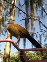 Guacharaca (Cracidae) (CarlosBelloZ piensa a veces... [ ]) Tags: parque la julia venezuela el caracas ave miranda marques nacional estado vila cracidae guachara repano guaraira