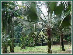 Bismarckia nobilis (Bismarck or Bismark Palm) at Rimba Ilmu Botanic Garden (Forest of Knowledge), Kuala Lumpur