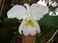 Orquídea 23