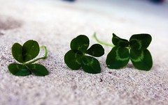 What are the odds? (Hunter and Indigo's Mum) Tags: irish green four leaf 4 patrick lucky clover fourleafclover stpatricksday odds superstitious goodluck 4leafclover