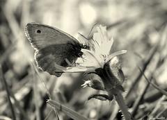 Petit papillon sur la fleur (fabdebaz) Tags: macro papillon 31 distillery 2009 bazige aficionados sudouest hautegaronne lauragais k10d pentaxk10d justpentax collectionnerlevivantautrement vosplusbellesphotos baziege