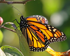 Monarch Butterfly (Danaus plexippus) (tonyadcockphotos) Tags: macro nature closeup butterfly insect butterflies insects monarch sciencecenter butterflyhouse monarchbutterfly butterflygarden danausplexippus canonef100400mmf4556lisusm danvilleva natureoutpost danvillesciencecenter butterflystation