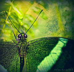 Transformation (Helen Beresford) Tags: green texture butterfly insect droplets wings transformation antennae flutter specanimal greenswallowtail bestofmywinners