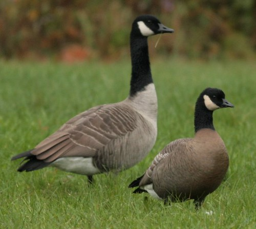 Cackling Goose (right-front), Canada Goose (left-back)