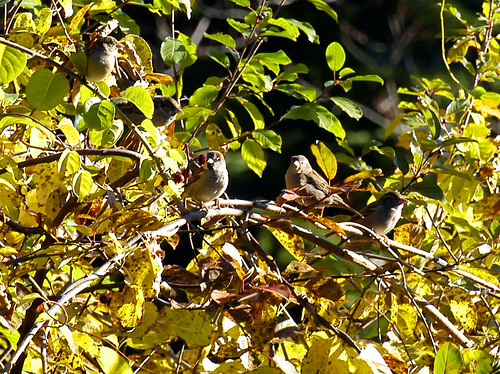 backyard sparrows