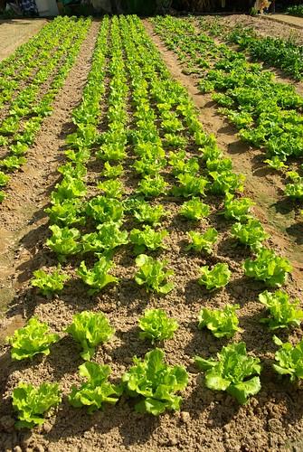 Immature Lettuce
