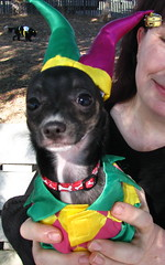 Chica (cerberus_arstd) Tags: costumes dog chihuahua cute halloween puppy puppies chihuahuas zuzu cujo