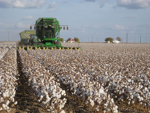 Cotton Harvest by kimberlykv, on Flickr