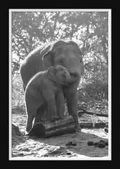 Elephant Love Serie 001 (Mandy van Tilborg) Tags: mandy elephant zoo blijdorp van olifant jong olifanten indische diergaarde aziatische olifantje olifantenjong tilborg