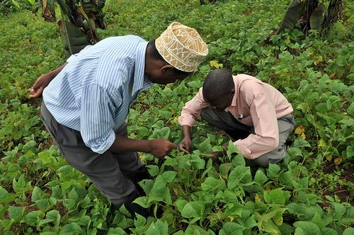uganda bean field2_lo