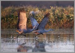 Clear for take-off (Stephen Fischer) Tags: birds bestof sandhillcranes birdgallery consumesriver