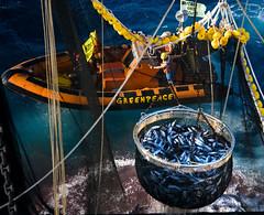 圍網漁船撈起人工集魚裝置聚集的鮪魚。2009 © Greenpeace / Paul Hilton