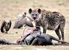 Hyena kills wildebeest, Liuwa Plain, Zambia (rogerfscott) Tags: africa park wild game nature animal photography photo nationalpark nikon kill 4x4 image african wildlife picture reserve adventure safari southern photograph naturereserve remote vulture hyena zambia wildebeest gamereserve southernafrica wildlifephotography specanimal d3000 liuwa sigma150500 bhejane