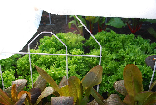 lettuce under cover