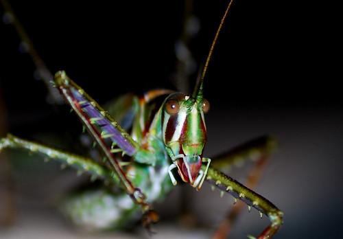 Katydid - Tettigoniidae family