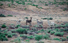 Wild Mules (Jesse Childers) Tags: desert nevada donkey mule sagebrush wildanimals wildmules photocontesttnc12