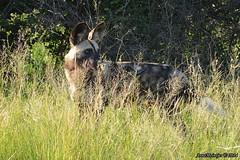 DSC_3268 (Arno Meintjes Wildlife) Tags: africa nature animal southafrica wildlife safari krugerpark africanwilddog wilddog lycaonpictus wildehond arnomeintjes