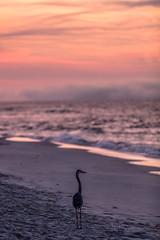 Morning Bird and Sunrise (johnmcgrawphotography) Tags: alabama alabamasunrise beachsunrise canon canon5dsr gulfshores gulfshoresalabama gulfofmexico gulfofmexicobeach gulfofmexicoocean johnmcgrawphotography ocean orangebeach photography sunrise sunrisebeach travel travelphotography