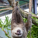 Hoffmann's two-toed sloth Gamboa Wildlife Rescue pandemonio 2017 - 32