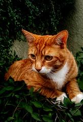 f_gato_3 (ricksoloway) Tags: animals arizonamojo critterpix tucsonarizona cameraphone samsungs6 cats schrödingerscat