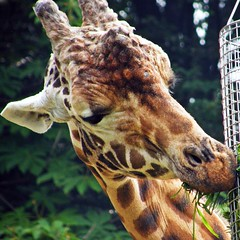 Lunch time (emrank) Tags: nagoya giraffe  higashiyamazoo