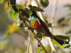 A bird came to my window and hid in the hibiscus bush (ilsebatten) Tags: male avian sunbird malesunbird