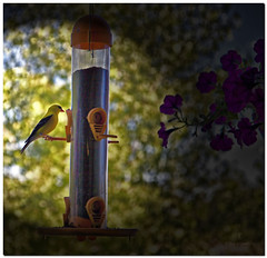 at the feeder.jpg (Father Tony) Tags: summer birds southdakota photo finch prairie yellowfinch mobridge adobephotoshopelements canonefs1755mmf28isusm canoneos50d redynamixplugin adobephotoshopelements7