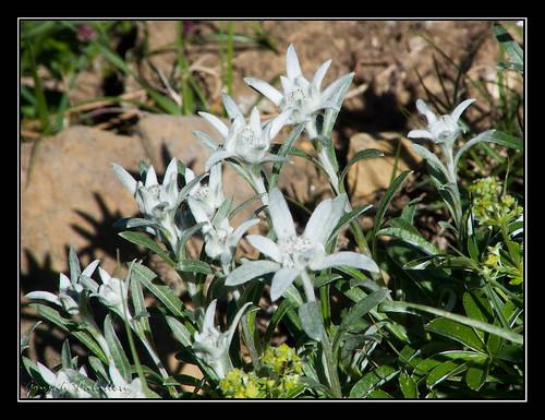 Ordesa - Edelweiss (I)