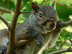 Squirrel (MJI Photos (Mary J. I.)) Tags: tree animal grey squirrel photographer arm watching gray relaxing claw planet viewer relaxed dangling squirel squirral squiral