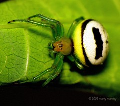 Batman's Spider? (mang M) Tags: black macro yellow insect spider wildlife arachnid philippines filipinas pilipinas greenlegs macrolicious gagamba insekto pinoykodakero napwc mangmaning2000
