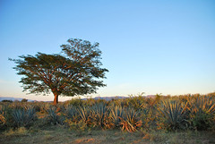 Tequila Anbau 40 (Panorama-Eye) Tags: landscape mexico nikon tequila agave landschaft ernte anbau d60