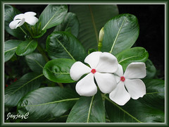 White Catharanthus roseus (Cooler Peppermint Vinca) with red eye in our garden, April 2009
