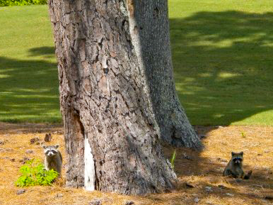 raccoons @ TPC