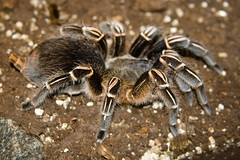 CD447 Costa Rican Zebra Tarantula (listentoreason) Tags: usa nature animal closeup america canon spider newjersey unitedstates arachnid favorites places tarantula animalia arthropoda arachnida invertebrate arthropod theraphosidae araneae tomsriver aphonopelma chelicerata mygalomorphae ef28135mmf3556isusm score30 aphonopelmaseemanni bugmuseum costaricanzebratarantula stripedkneetarantula insectropolis theraphosoidea animalidentification bugseum