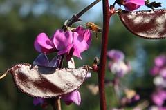 hyacinth bean vine 2
