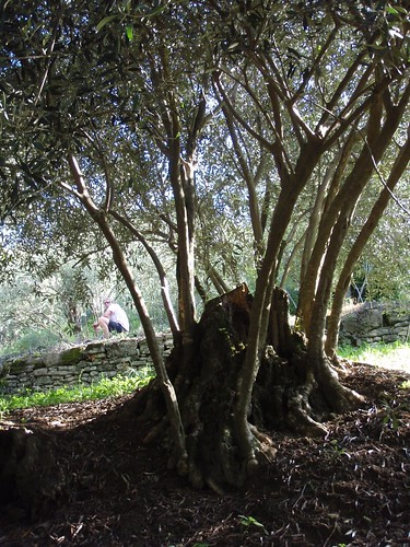 These old olive trees are like Phoenix - they can reborn anew from the ashes