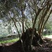 Post image for Rebirth of a centenery olive grove in Draguć