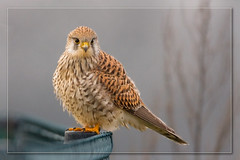 Industrial Espionage (hvhe1) Tags: holland bird nature netherlands animal bravo wildlife hunting raptor predator espionage kestrel birdofprey torenvalk naturesfinest industrialespionage specanimal hvhe1 hennievanheerden avianexcellence