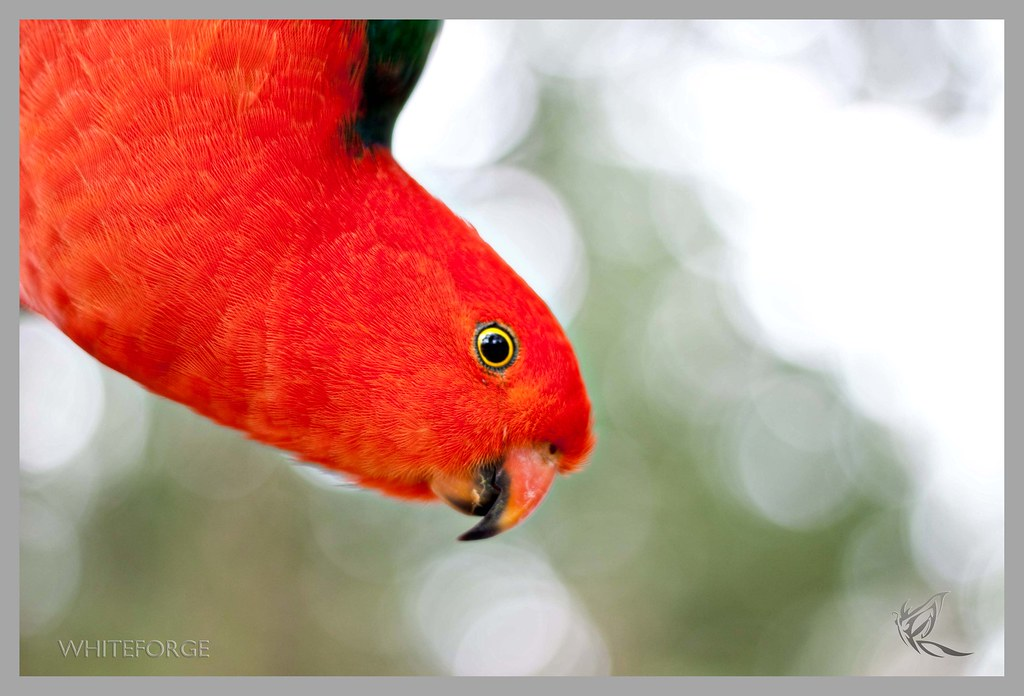 Australian King-Parrot hanging from branch at Sherbrooke Forest