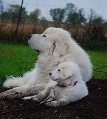 [フリー画像] [動物写真] [哺乳類] [イヌ科] [犬/イヌ] [親子/家族] [グレート・ピレニーズ]     [フリー素材]
