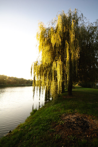 Szomorúfűz / Weeping Willow