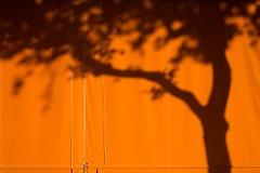 orange tree (xgray) Tags: light shadow orange color tree contrast digital canon austin eos 50mm prime university texas afternoon canvas universityoftexas 5d tarp ef50mmf14usm uploadx treeimplied shadowseason