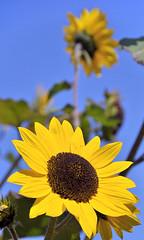 Rheinland-Pfalz #005 (Alessandro Tortora) Tags: blue sky nature yellow germany deutschland nikon blu natur himmel blumen natura bleu gelb giallo cielo sunflower fiore 2009 girasole germania sonnenblume d300 nikond300