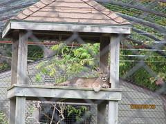 canada novascotia cougar shubenacadie shubenacadiewildlifepark