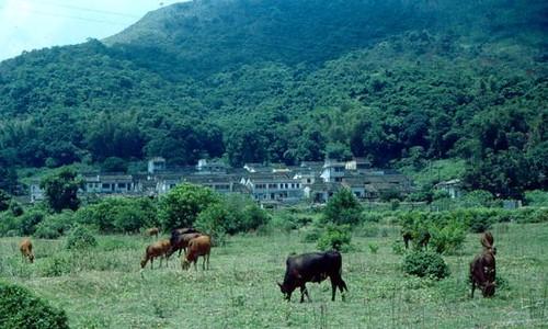 Plover Cove Cows, Lai Chi Wo